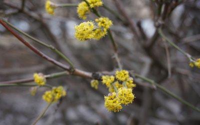 Frühblüher im Kosmosviertel (Altglienicke) und im Müggelwald