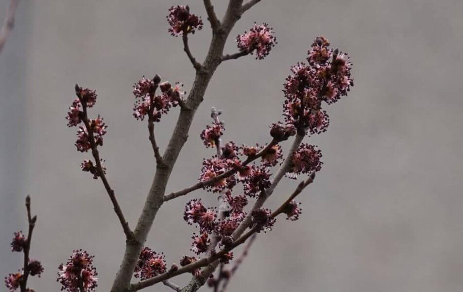 Das Bild zeigt die Blütenstände einer Berg-Ulme im Kosmosviertel.