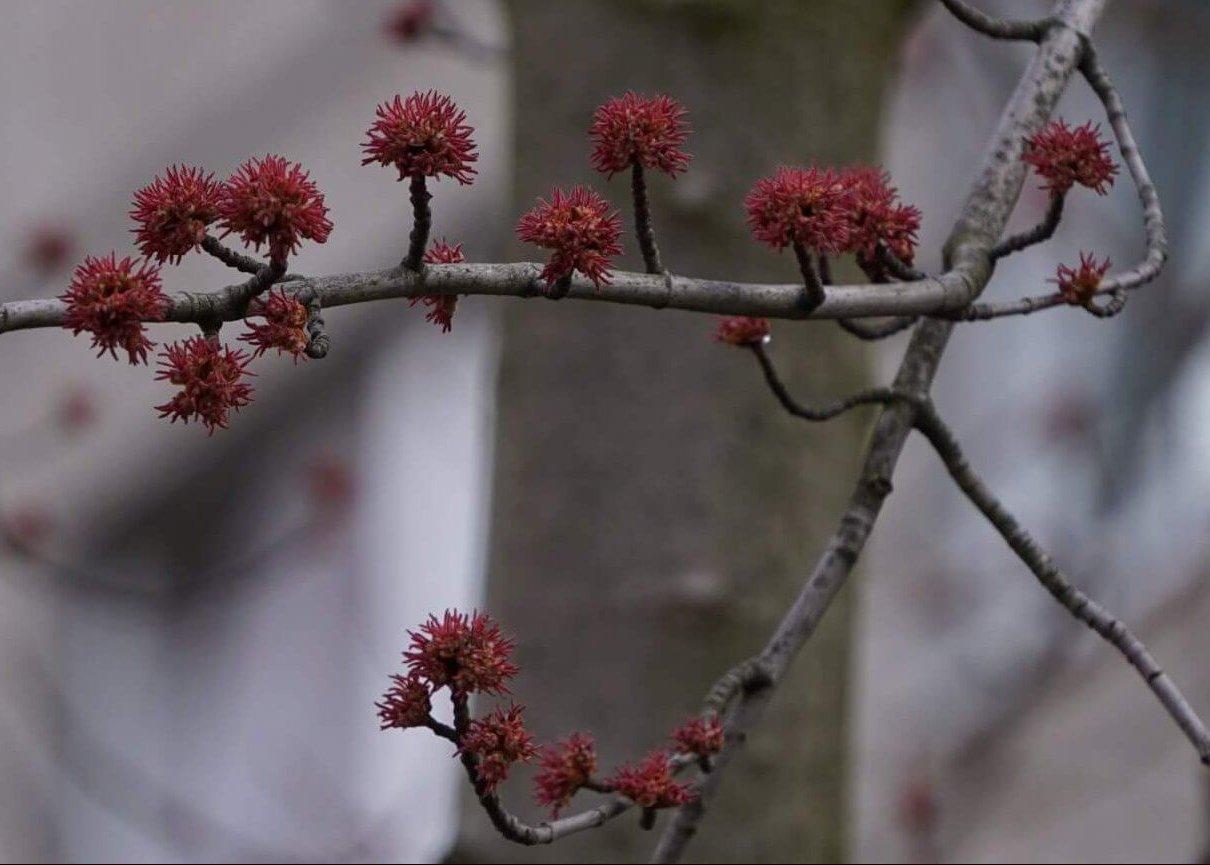 Das Bild zeigt die roten weiblichen Blütenstände eines Silber-Ahorns im Kosmosviertel unweit des Familienzentrums.