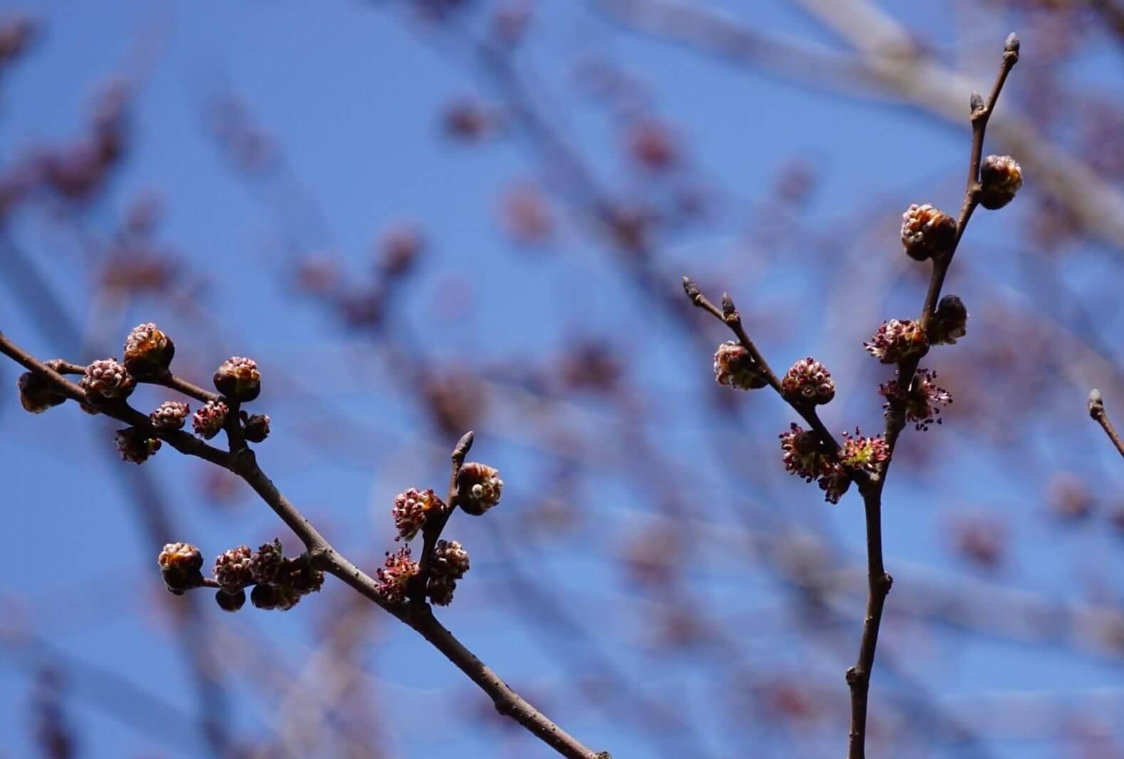 Das Bild zeigt die im März aufspringenden Blütenknospen einer Berg-Ulme an der Schönefelder Chaussee im Kosmosviertel.