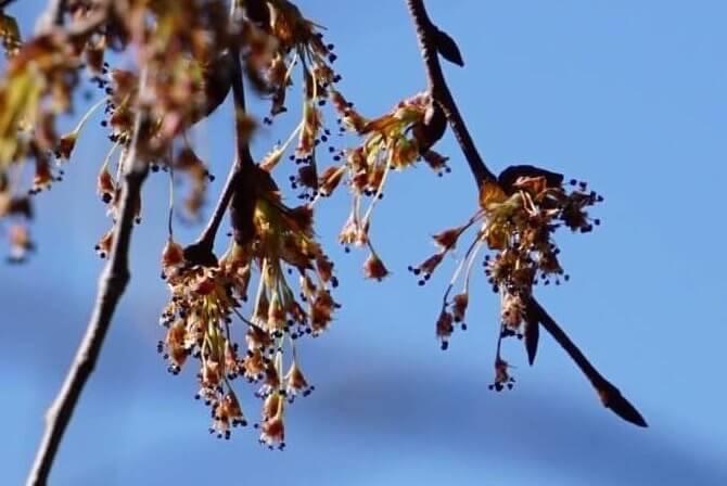 Auf dem Bild ist die Nah-Ansicht der Blüten einer Flatter-Ulme an der Großen Krampe bei Müggelheim zu sehen.
