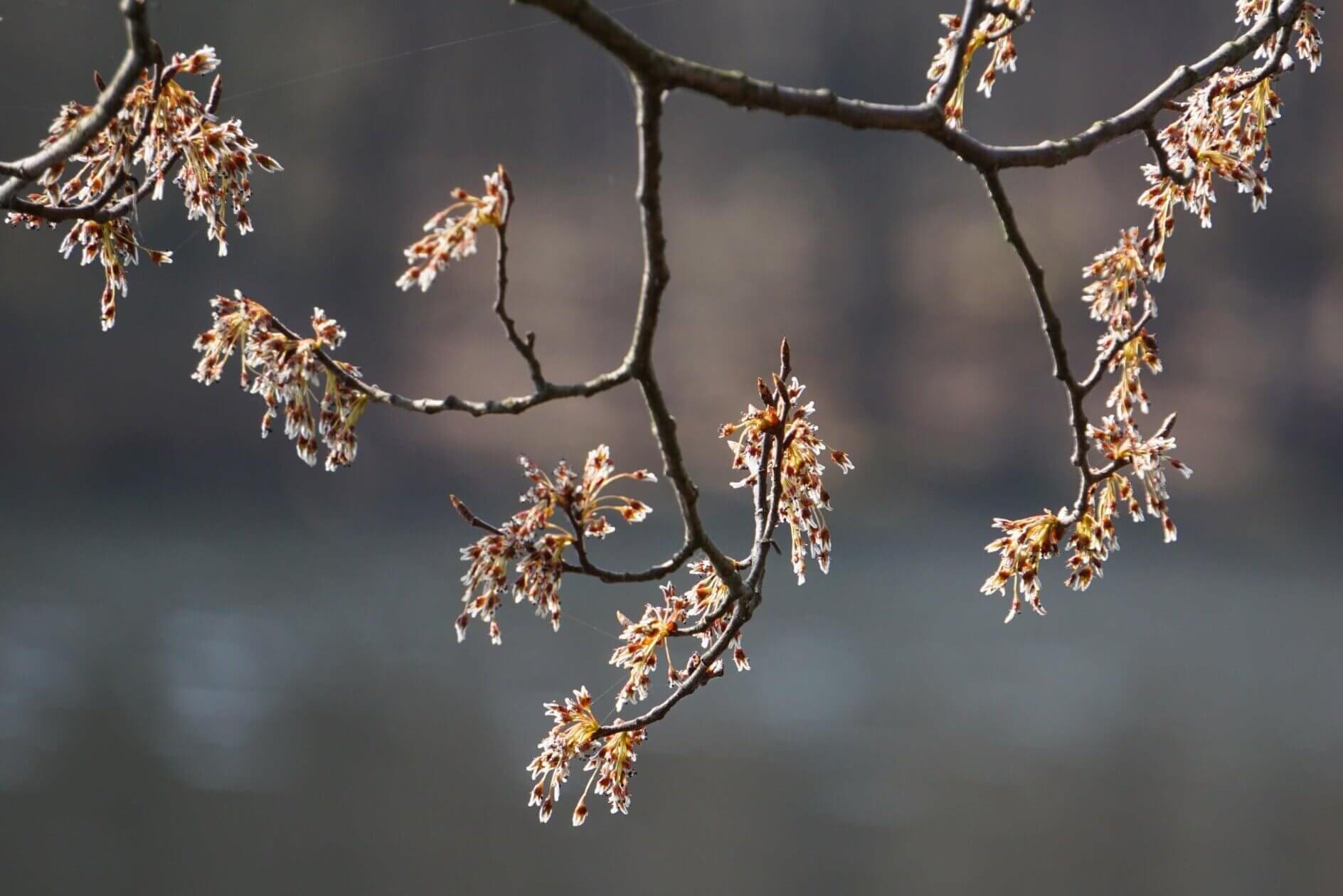 Das Bild zeigt die Blütenstände einer Flatter-Ulme an über dem Wasser hängenden Zweigen an der Kleinen Krampe bei Müggelheim.