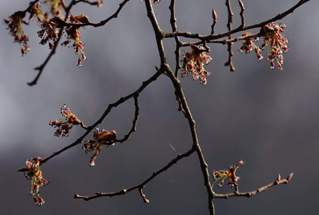 Das Bild zeigt die Blütenstände einer Flatter-Ulme Ende März am Seddinsee in Berlin.