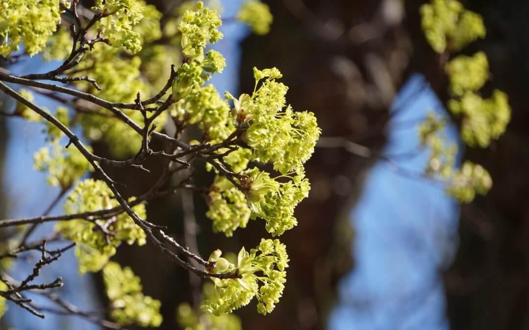 Das Bild zeigt die Blüten eines Spitz-Ahorns unweit des Teufelssees in den Müggelbergen.