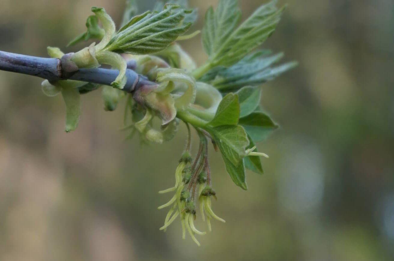 Das Bild zeigt den weiblichen Blütenstand eines Eschen-Ahorns bei Müggelheim.