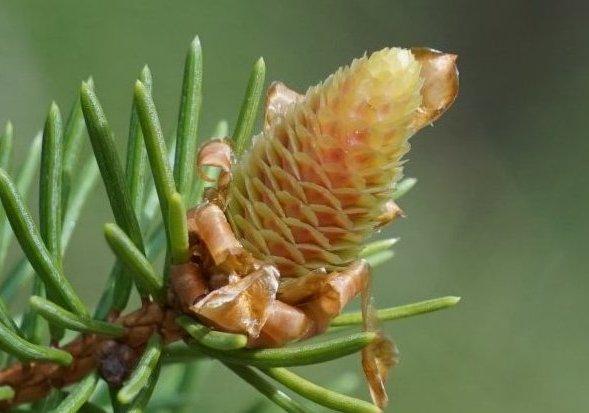 Im Bild ist ein weiblicher Blütenzapfen der Gewöhnlichen Fichte zu sehen, mit grünen Fruchtblättern und rosafarbenen äußeren Tragblättern.