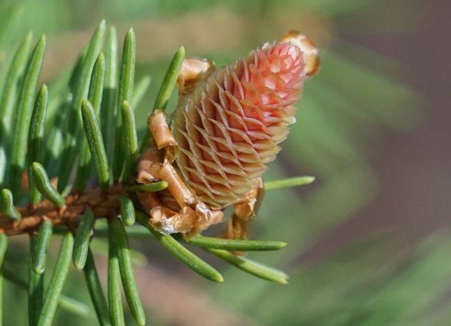 Das Bild zeigt einen weiblichen Blütenzapfen der Gewöhnlichen Fichte mit grünen Fruchtblättern und rosafarbenen äußeren Tragblättern.