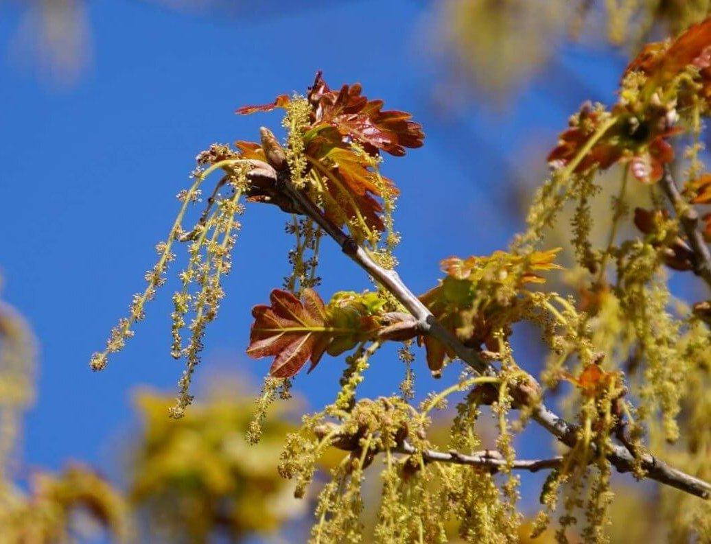 Das Bild zeigt die langen hängenden männlichen Blütenkätzchen einer Eiche im Volkspark Köpenick.