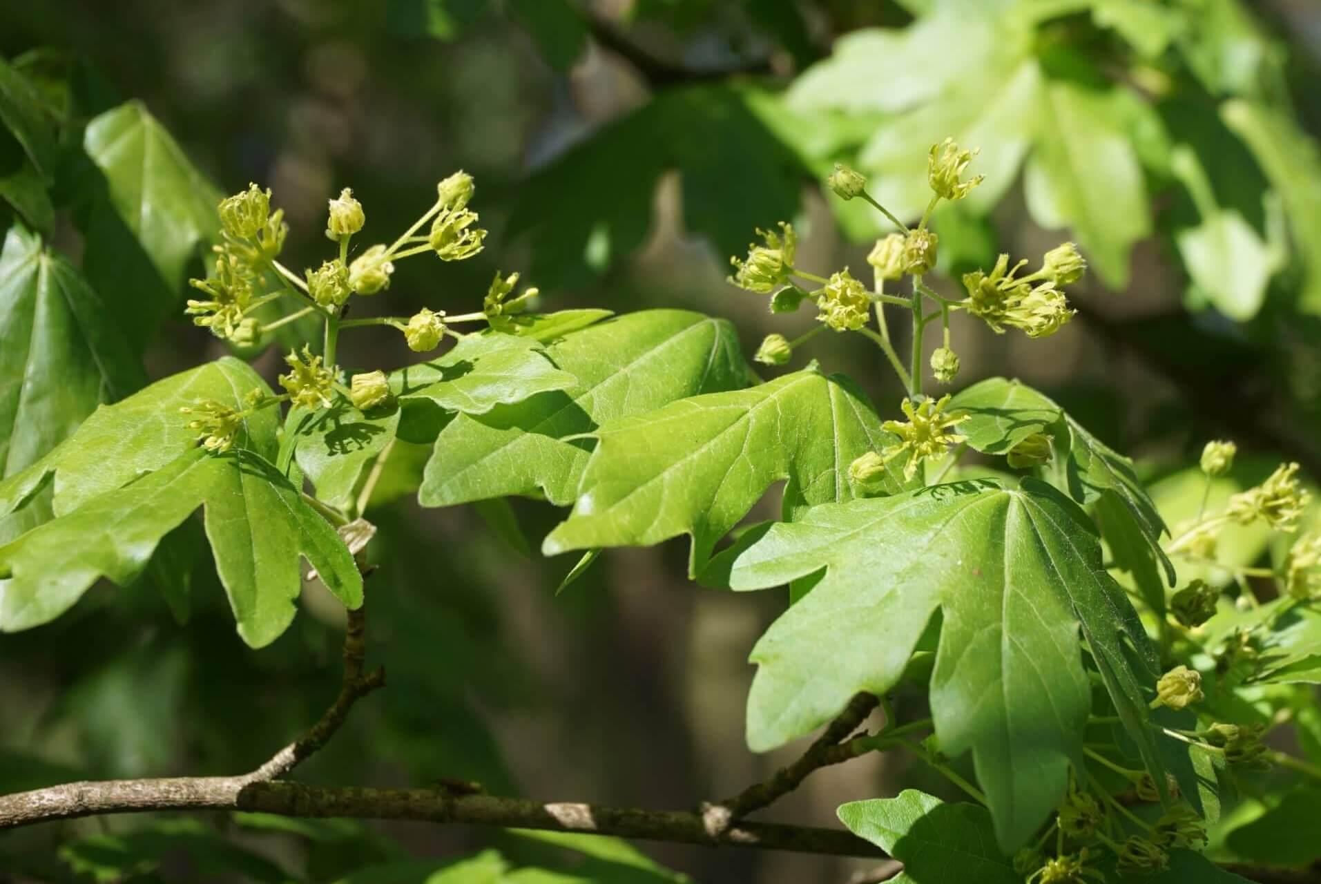 Das Bild zeigt die Blütenrispe eines Feld-Ahorns bei Müggelheim, mit bis zu 20 Einzelblüten.