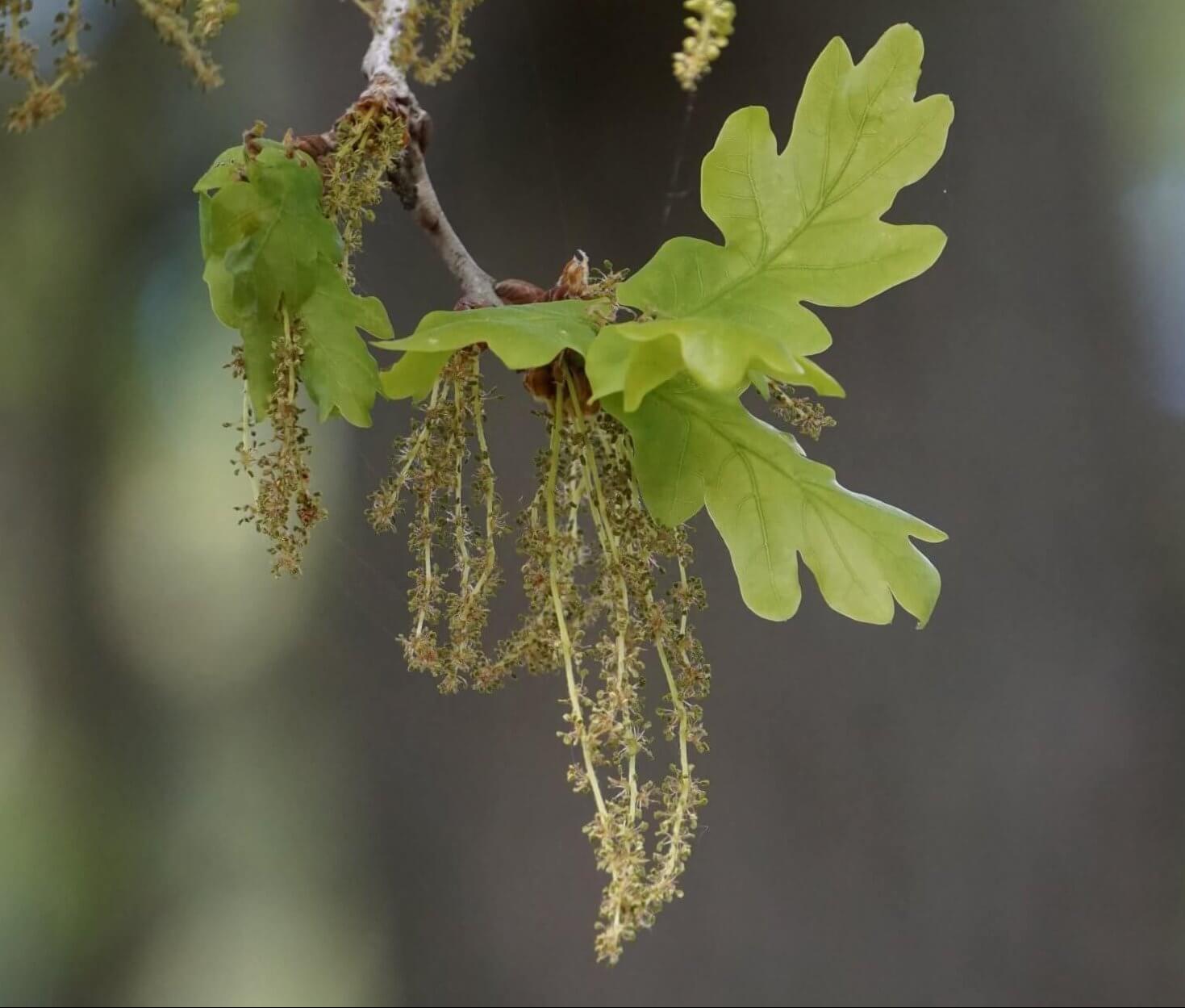 Das Bild zeigt die männlichen Blütenkätzchen einer Eiche in der Nähe des Langen Sees in Köpenick.