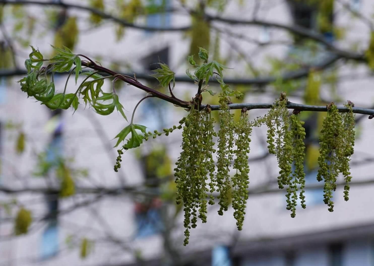 Das Bild zeigt die langen männlichen Blütenkätzchen einer nordamerikanischen Scharlach-Eiche im Kosmosviertel, Altglienicke-Süd.