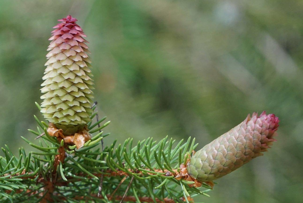 Das Bild zeigt den weiblichen Blütenzapfen einer Gewöhnlichen Fichte in der Blühphase mit abstehenden und herunterhängenden Fruchtblättern.