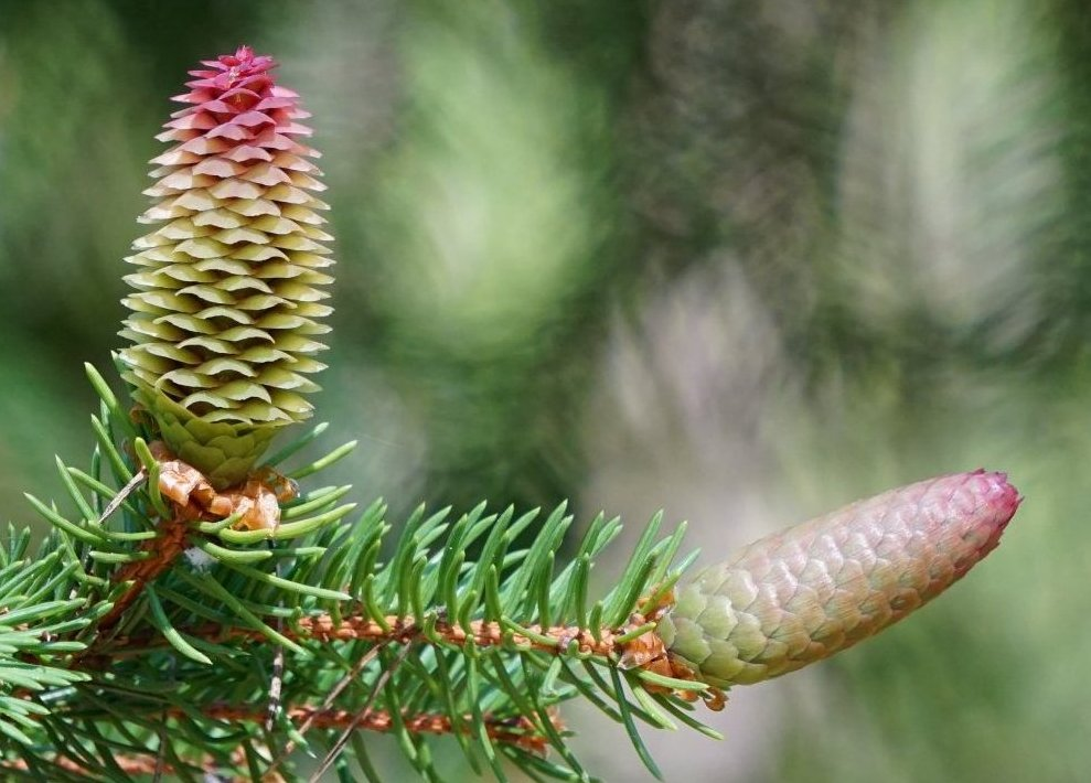 Das Bild zeigt einen weiblichen Blütenzapfen einer Fichte mit geöffneten Fruchtblättern und sich schließenden reifenden Samenschuppen im unteren Teil.