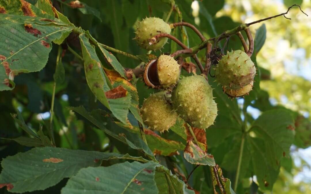 Das Bild zeigt die stacheligen Fruchtkapseln einer weißblühenden Rosskastanie zur Reifezeit im September. Die Kapseln platzen schnell auf und werfen die Kastanien besonders bei Wind-Einwirkung leicht heraus.