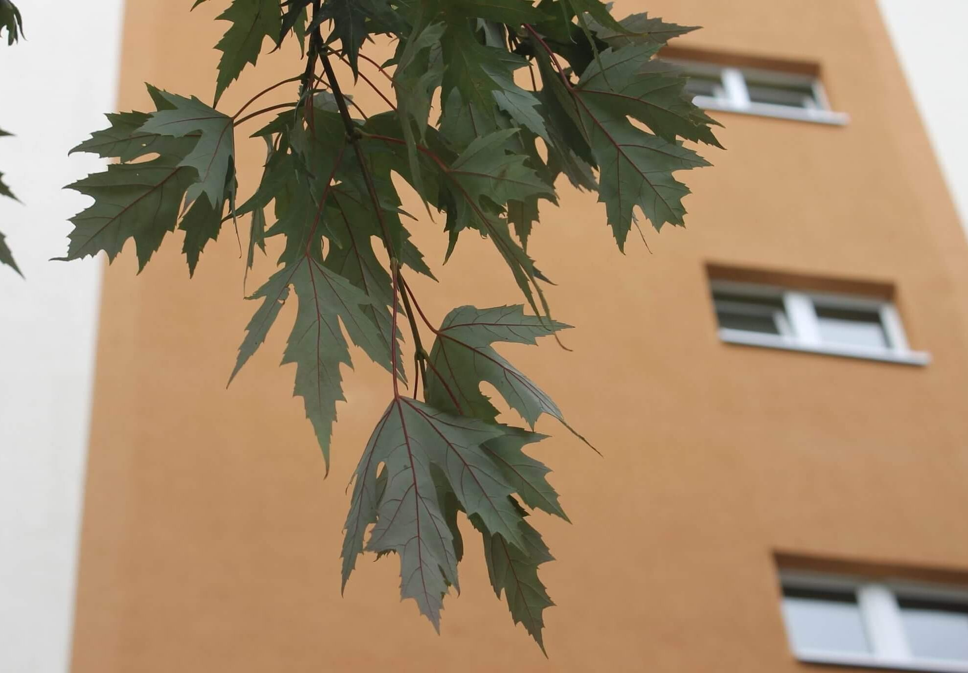 Das Bild zeigt die grau-weißen Blatt-Unterseiten der geschlitzten Blätter eines Silber-Ahorns im Kosmosviertel.