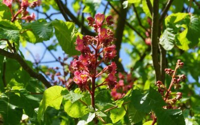 Rosskastanie Blüten Projekt Natur im Kosmosviertel