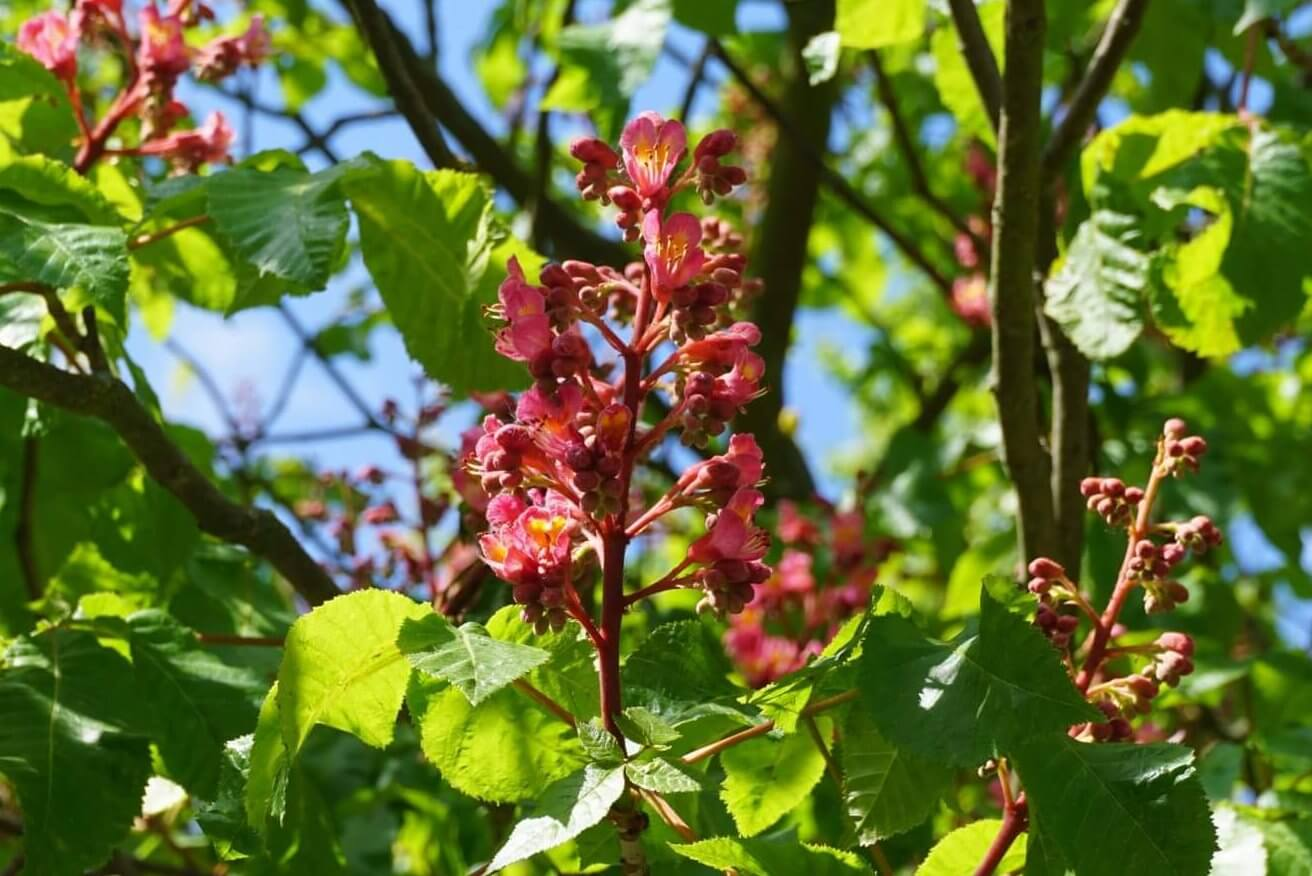 Das Bild zeigt den Blütenstand einer Rotblühenden Rosskastanie im Innenhof nahe des Bürgerhauses im Kosmosviertel, Altglienicke.