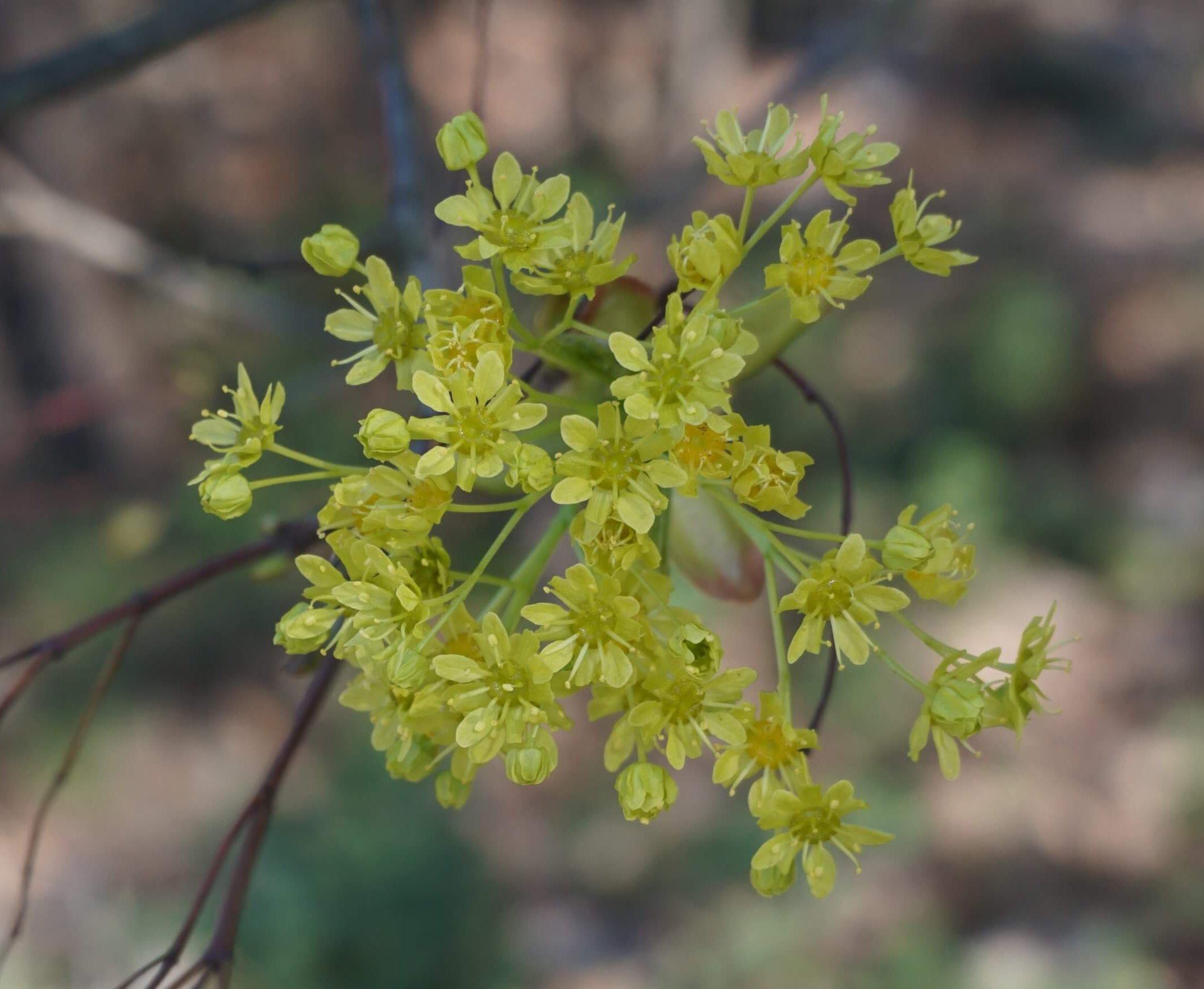 Das Bild zeigt die gelbgrüne Blütenrispe eines Spitz-Ahorns in Müggelheim.