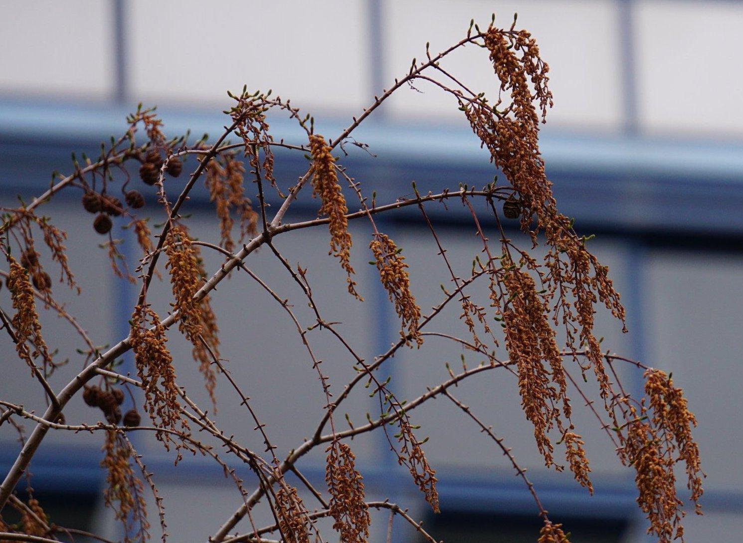 Das Bild zeigt die männlichen herabhängenden Blütenstände an einem Urweltmammutbaum im Kosmosviertel.