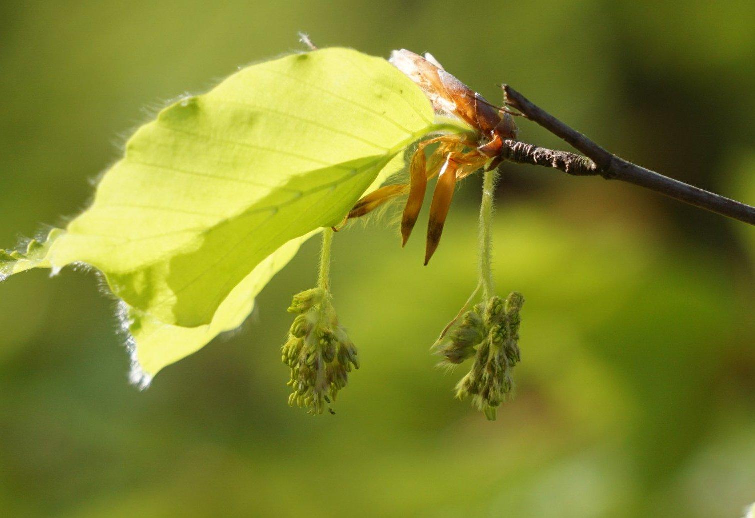 Das Bild zeigt die noch geschlossenen Staubblätter der männlichen Blütenstände einer Rot-Buche in den Berliner Müggelbergen.