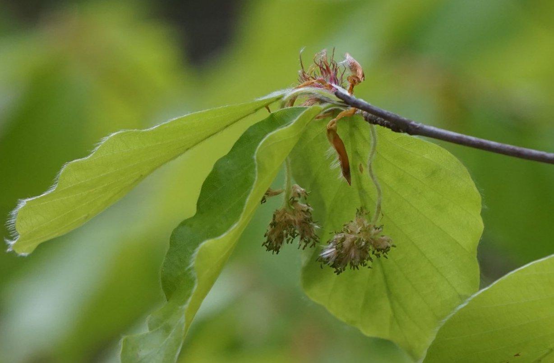 Das Bild zeigt die herabhängenden männlichen und die aufwärts gerichteten weiblichen Blütenstände einer Rot-Buche in den Müggelbergen.