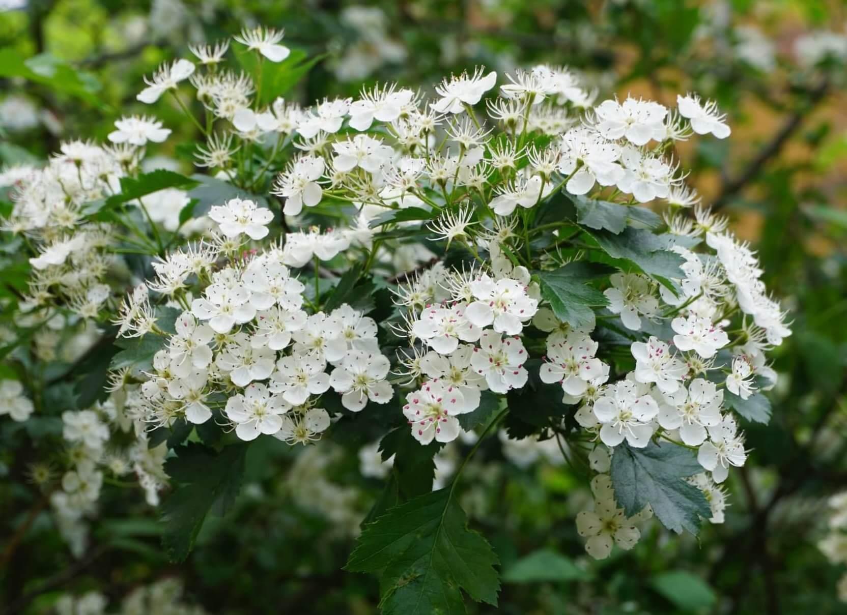 Das Bild zeigt die weißen Blüten des Weißdorns an einem Strauch im Kosmosviertel im Mai.