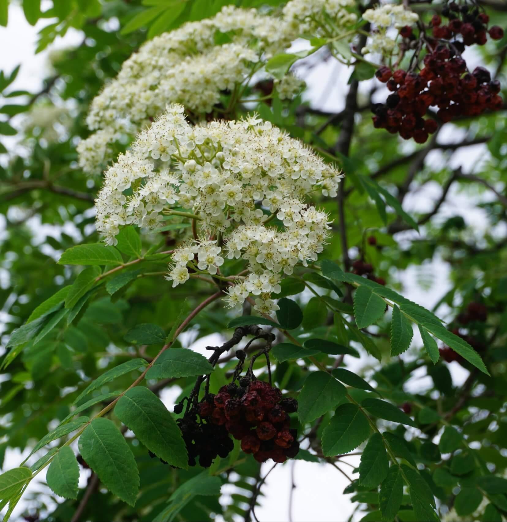 Das Bild zeigt die der Schwedischen Mehlbeere sehr ähnlich sehenden Blütenrispen einer Eberesche, aus fünfzählig mit weißen Kronblättern versehenen Einzelblüten. Die Staubblätter besitzen weiße Staubfäden und gelbe Staubbeutel. Hier an einem Baum im Kosmosviertel.