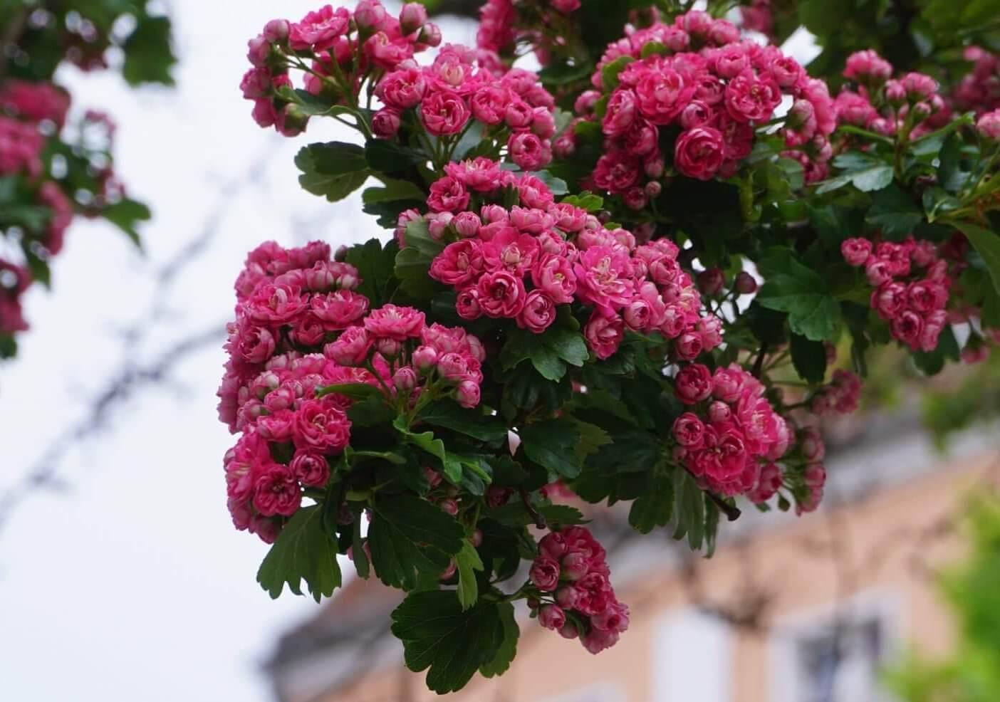 Das Bild zeigt die rosettenartig gefüllten Blüten eines Rotdorns am Mandrellaplatz in Köpenick.