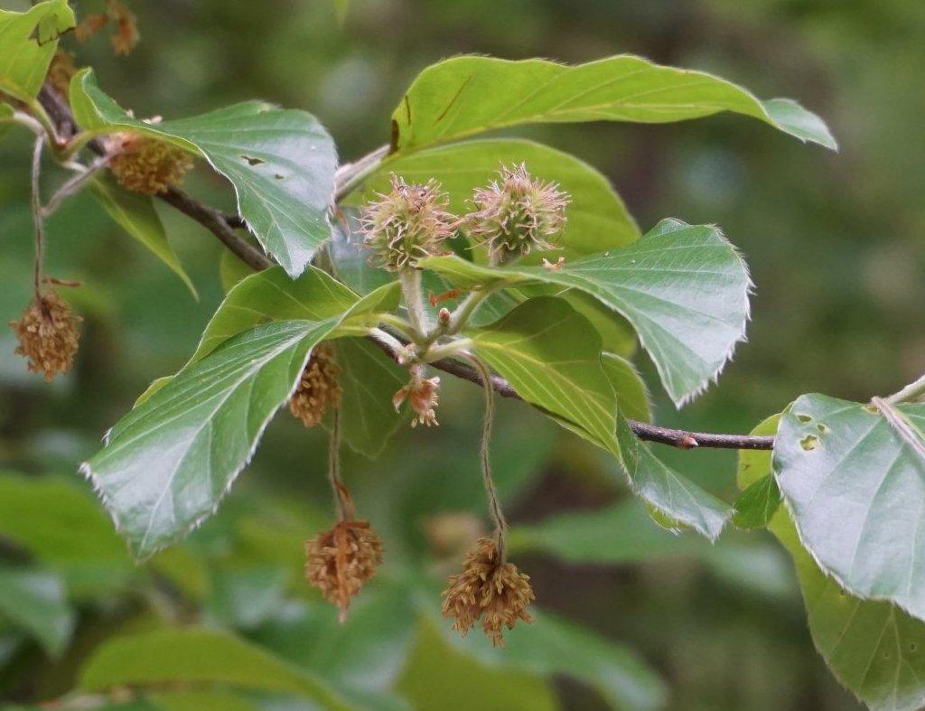 Das Bild zeigt die noch grünen Fruchtstände und männliche Blütenstände an einer Rot-Buche bei Schmetterlingshorst im Müggelwald.
