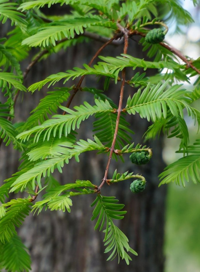 Das Bild zeigt die noch kleinen grünen Zapfen eines Urweltmammutbaumes im Mai im Kosmosviertel.
