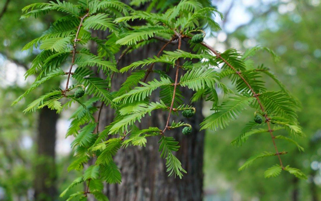 """Urweltmammutbaum (Chinesisches Rotholz) / Projekt """"Natur im Kosmosviertel"""""""