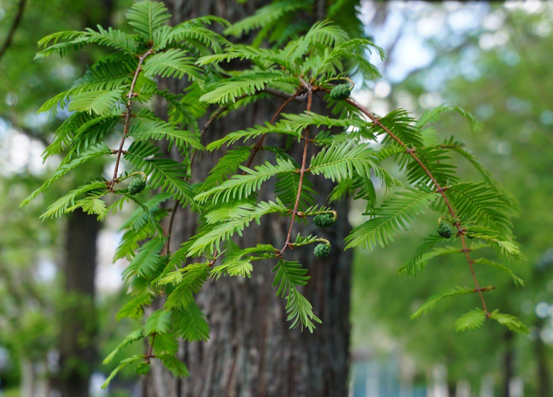 Das Bild zeigt die Fiederblätter und kleine grüne Zapfen im Mai an einem Urweltmammutbaum im zentralen Grünzug des Kosmosviertels.