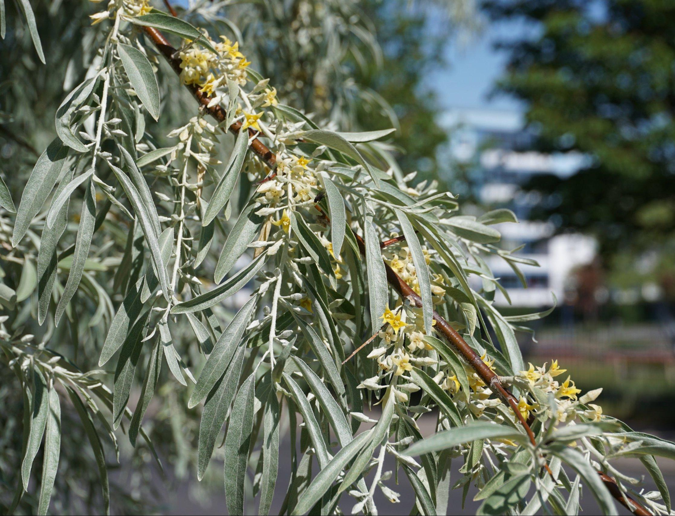Das Bild zeigt die Zweige mit den silbrig behaarten Blättern einer Schmalblättrigen Ölweide an der Venusstraße im Kosmosviertel.