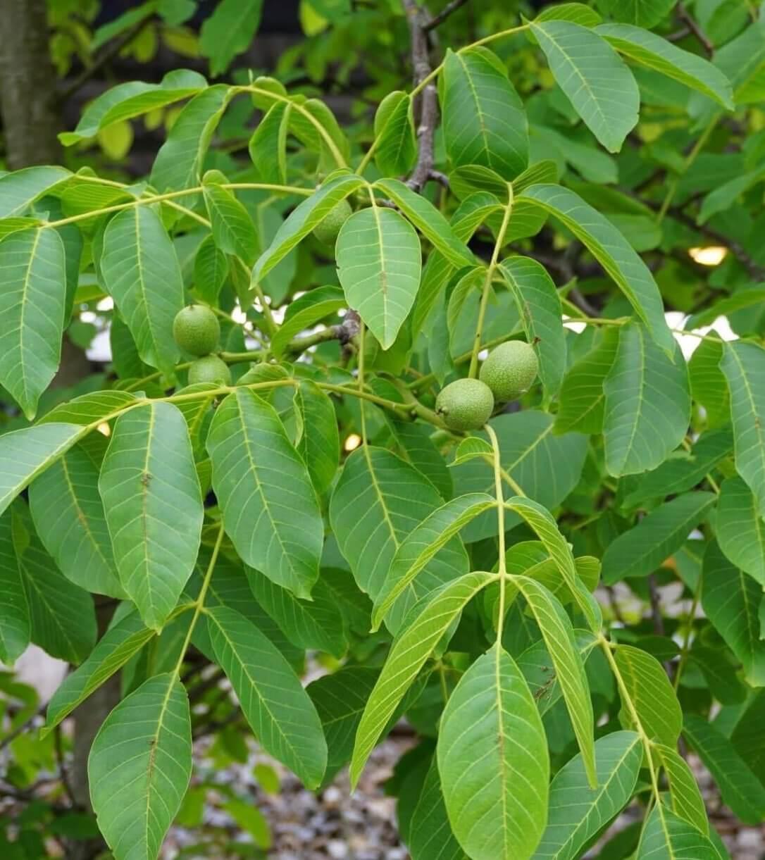 Das Bild zeigt die reifenden Früchte an einem Walnuss-Baum am S- und U-Bahnhof Wuhletal Ende Juni. Die Oberflächen sind grün. Im Inneren reifen die Nussfrüchte heran.
