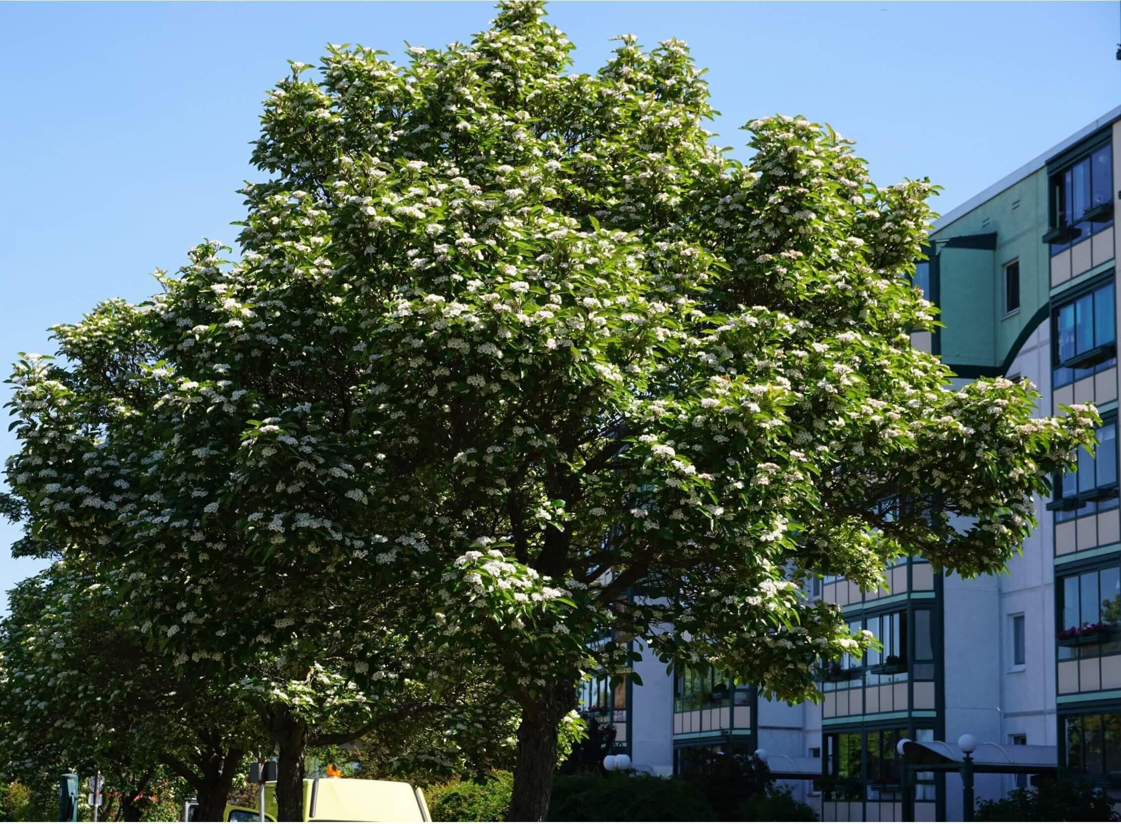 Das Bild zeigt die Krone einer Gewöhnlichen Mehlbeere in voller Blüte am Ende des Monats Mai. Sie blüht auch im Flachland deutlich später als die Schwedische Mehlbeere und die Vogelbeere. Der Straßenbaum auf dem Foto steht am Pegasuseck.