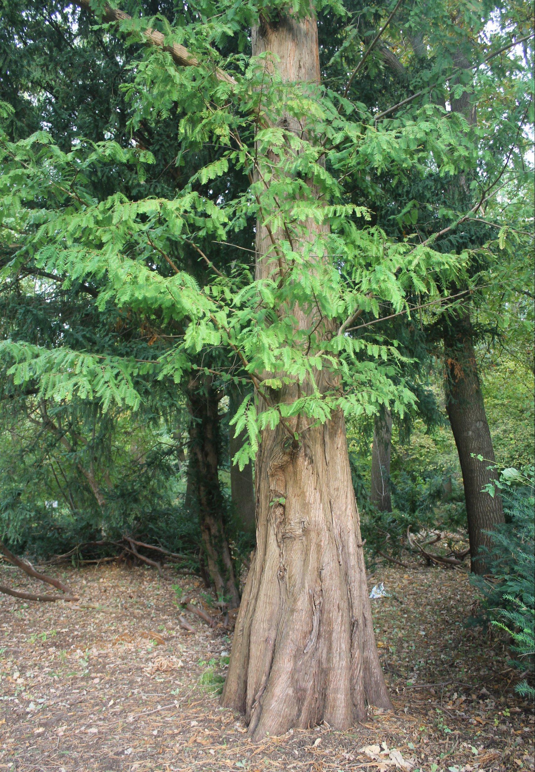Das Bild zeigt den Stammfuss eines Urweltmammutbaumes im Berliner Tiergarten mit den typischen Stammkehlungen.