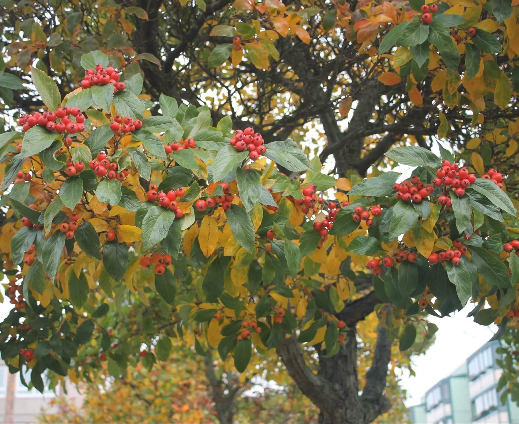 Das Bild zeigt die roten, in Rispen sitzenden Apfelfrüchte einer Gewöhnlichen Mehlbeere als Straßenrandbepflanzung am Pegasuseck/Einmündung Venusstraße im Kosmosviertel.