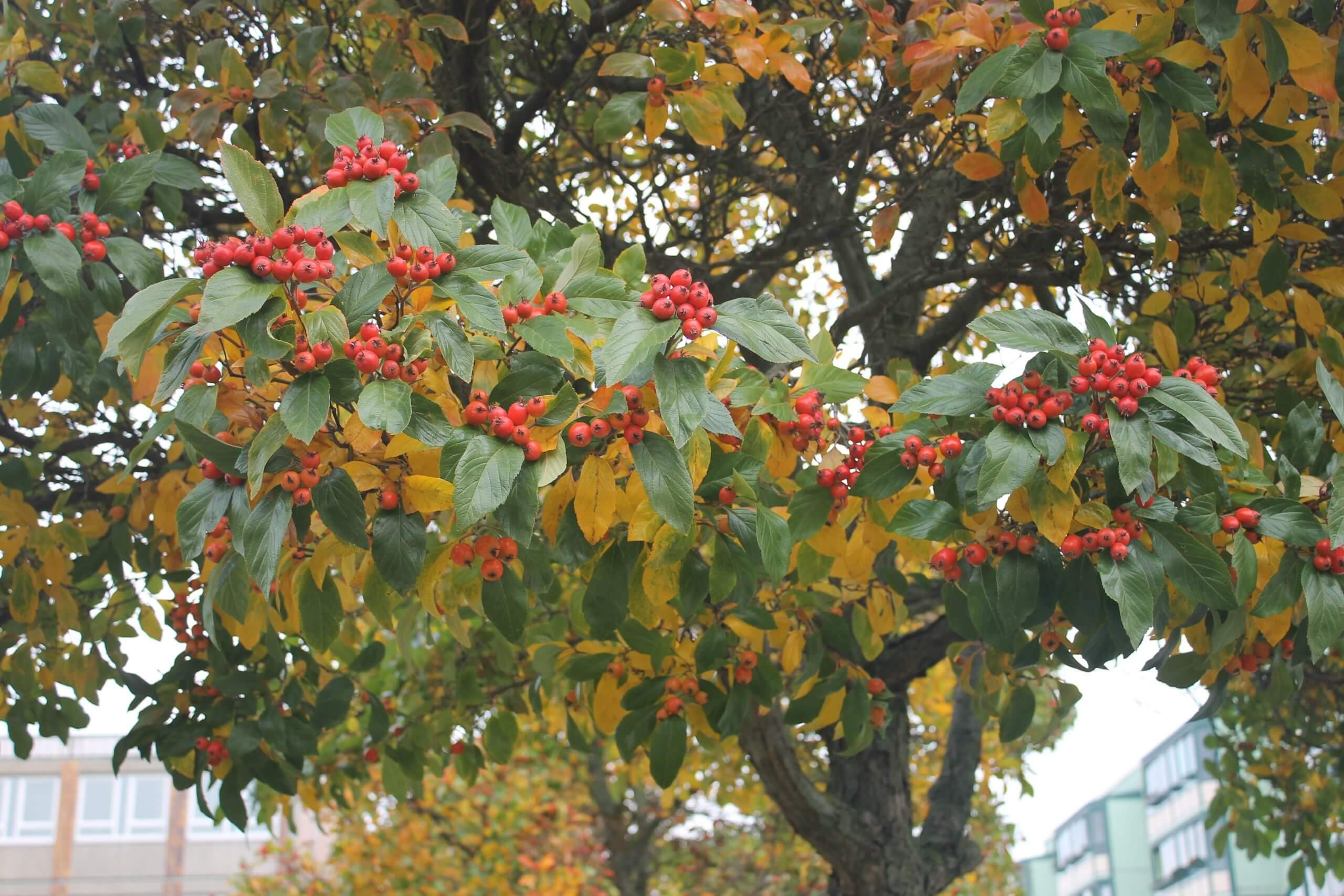 Das Bild zeigt eine Mehlbeere mit leuchtend roten Früchten. Der Baum steht am Pegasuseck im Kosmosviertel, nahe der Venusstraße.