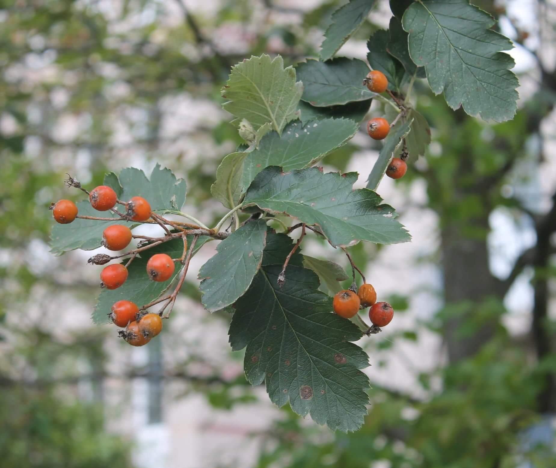 Das Bild zeigt die kleinen, rot-orange gefärbten Apfelfrüchte an einer Schwedischen Mehlbeere im Kosmosviertel. Die Aufnahme entstand im September.