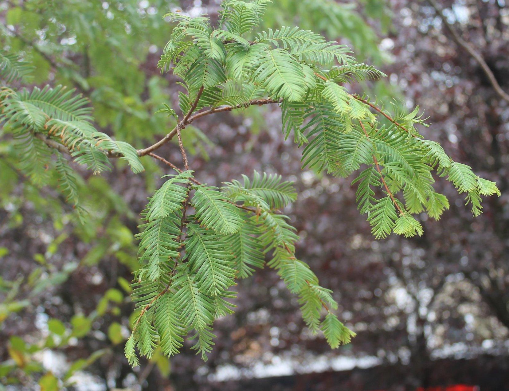 Das Bild zeigt die zweizeiligen Fiederblätter eines Urweltmammutbaumes im Kosmosviertel.