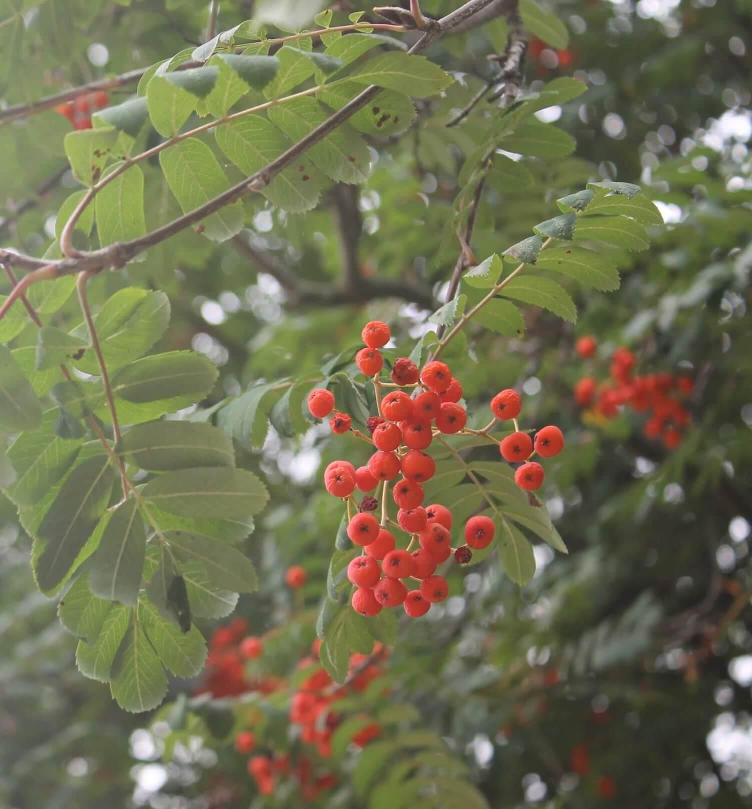 Das Bild zeigt die Rispen mit den kleinen roten Apfelfrüchten an einer Eberesche oder Vogelbeere in einem Innenhof-Areal im Kosmosviertel.