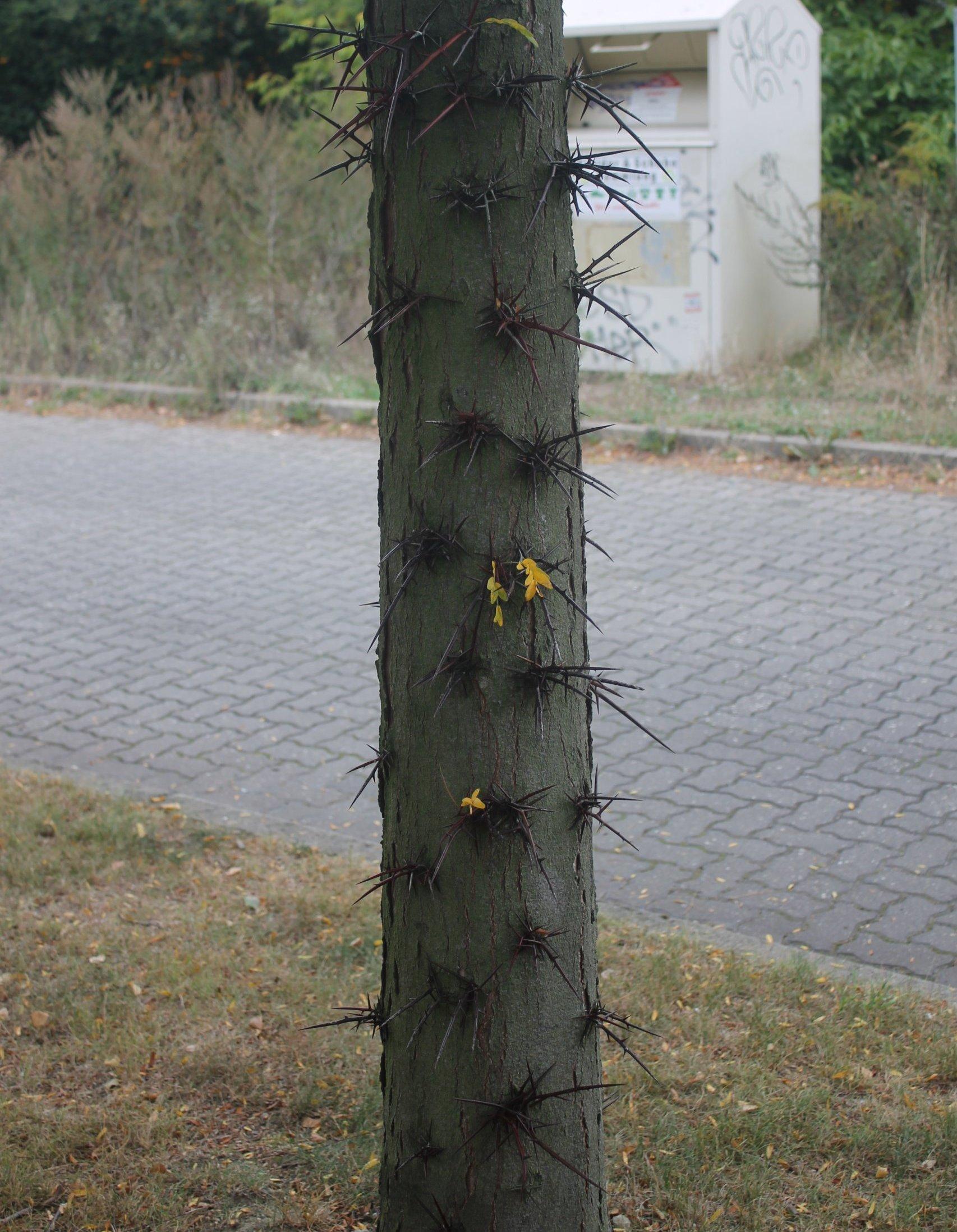 Das Bild zeigt den dornenbewerten Stamm einer Gleditschie im Wohnareal an der Venusstraße im Kosmosviertel.