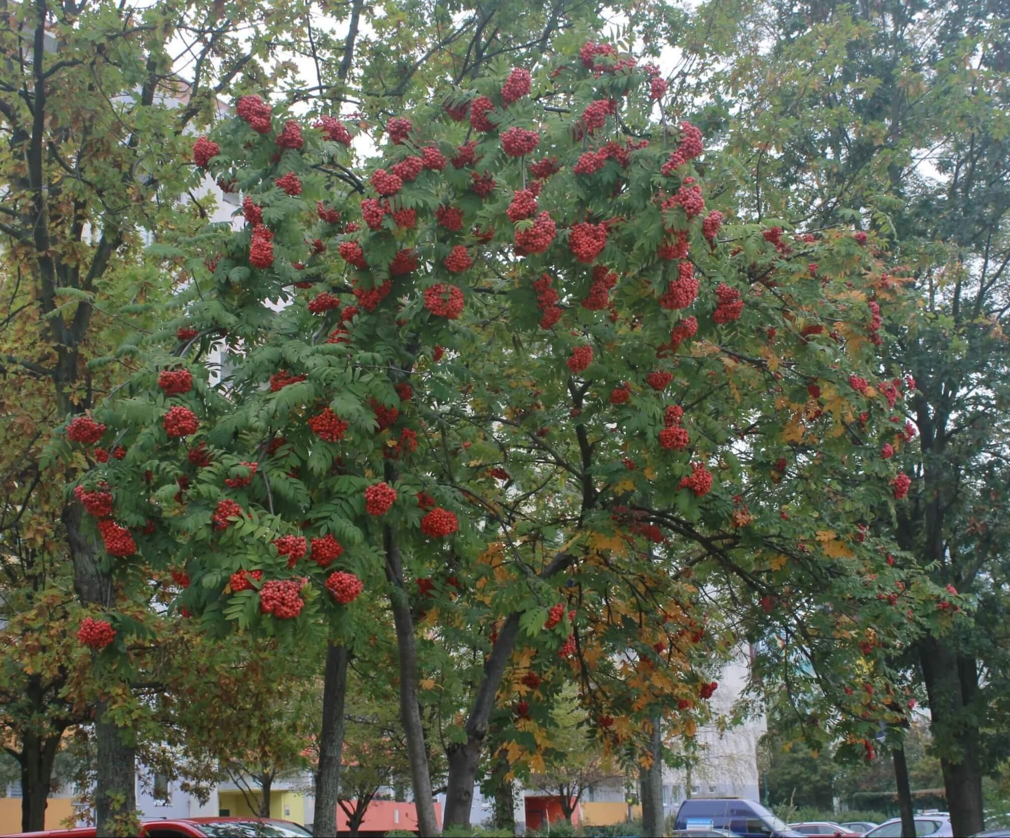 Das Bild zeigt die im Herbst auffallenden, kräftig rot gefärbten Früchte einer Eberesche (Vogelbeere) an der Schönefelder Chaussee im Kosmosviertel. Die kleinen Apfelfrüchte sitzen dicht in großer Zahl in Rispen.