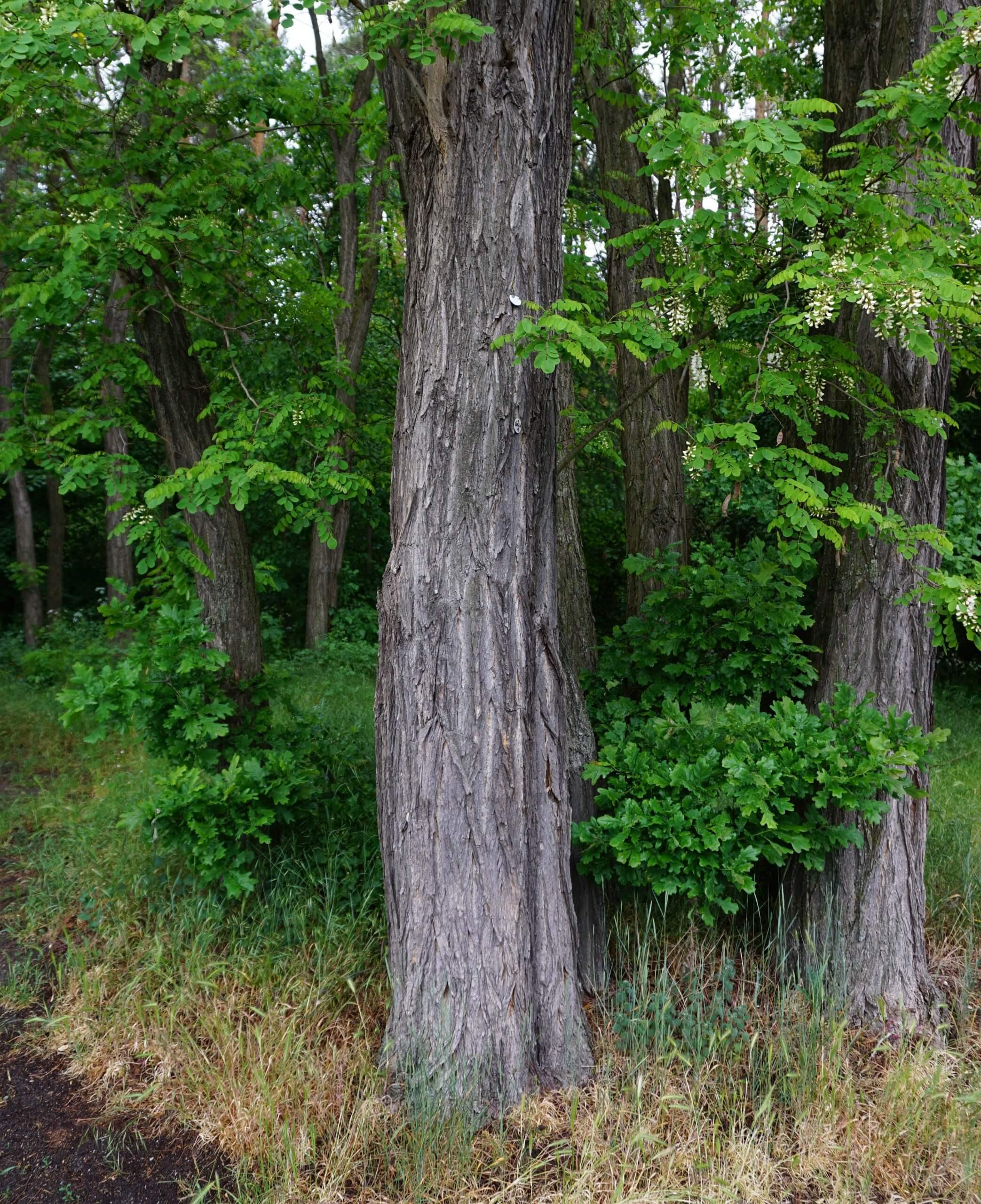 Das Bild zeigt die gefurchten grauen Stämme zweier Robinien an einem Waldrand. Grüne Trift am Wald in Köpenick.