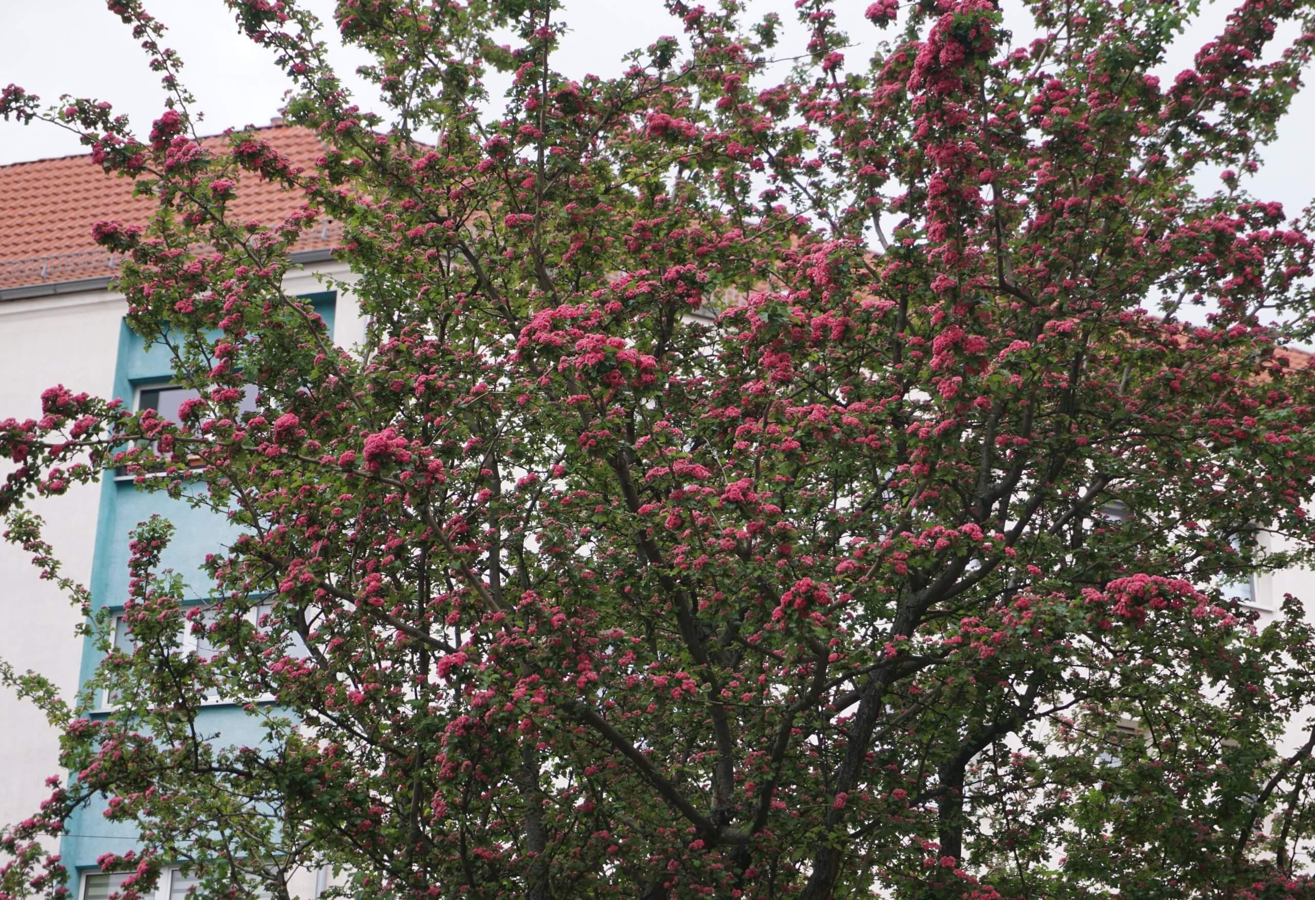 Das Bild zeigt die Baumkrone eines blühenden Rotdorns am Mandrellaplatz in Köpenick.