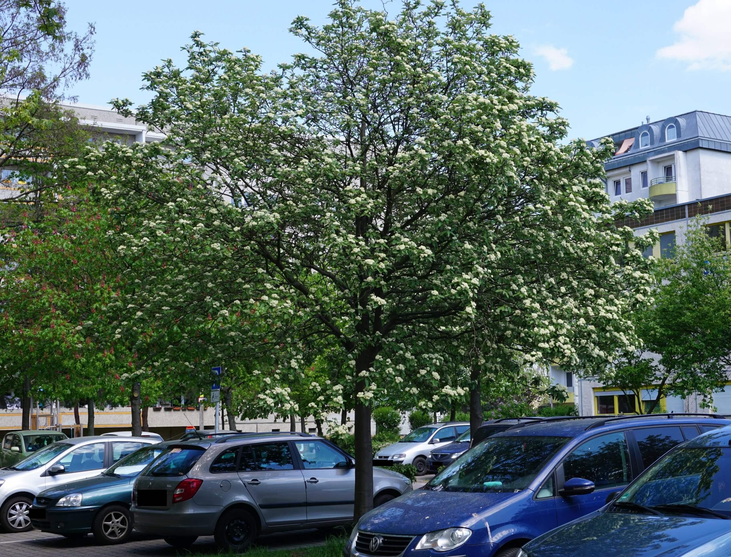 Das Bild zeigt ein Exemplar einer blühenden Schwedischen Mehlbeere gegenüber dem Bürgerhaus im Kosmosviertel.