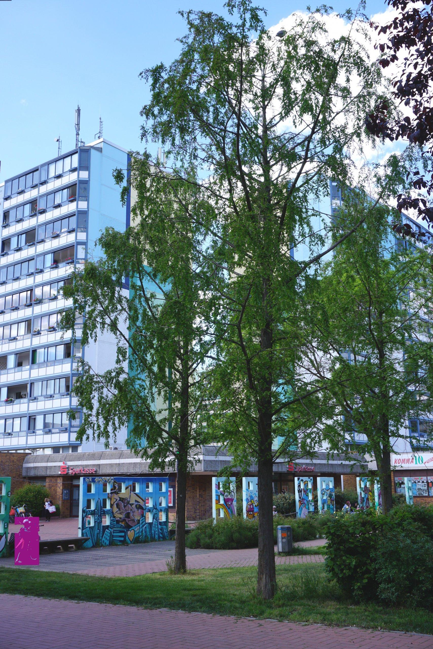 Das Bild zeigt eine Dreiergruppe aus Urweltmammutbäumen im zentralen Grünzug des Kosmosviertels.