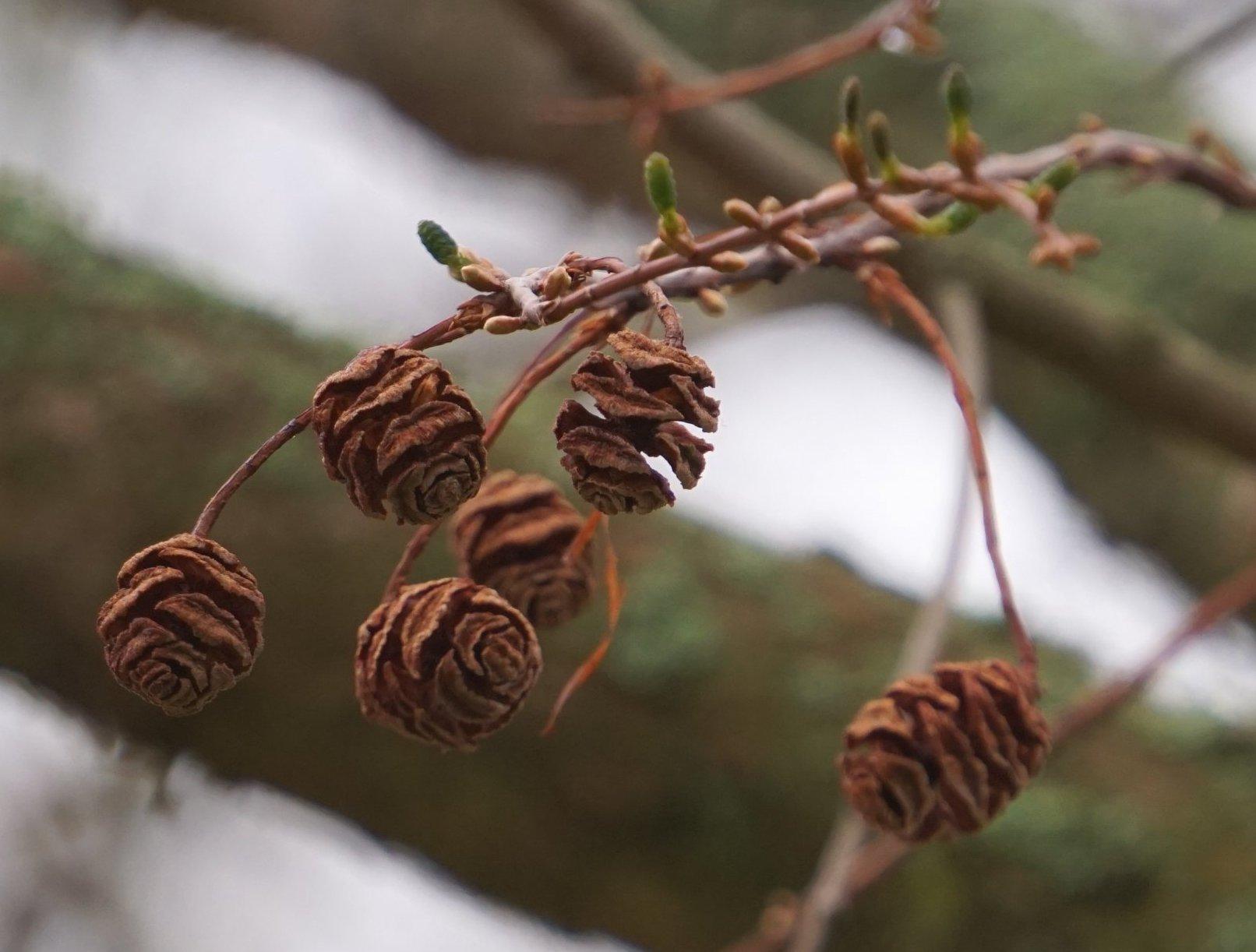 Das Bild zeigt die verholzten Zapfen des Vorjahres und neue grüne Blütenzapfen eines Urweltmammutbaumes im Kosmosviertel.