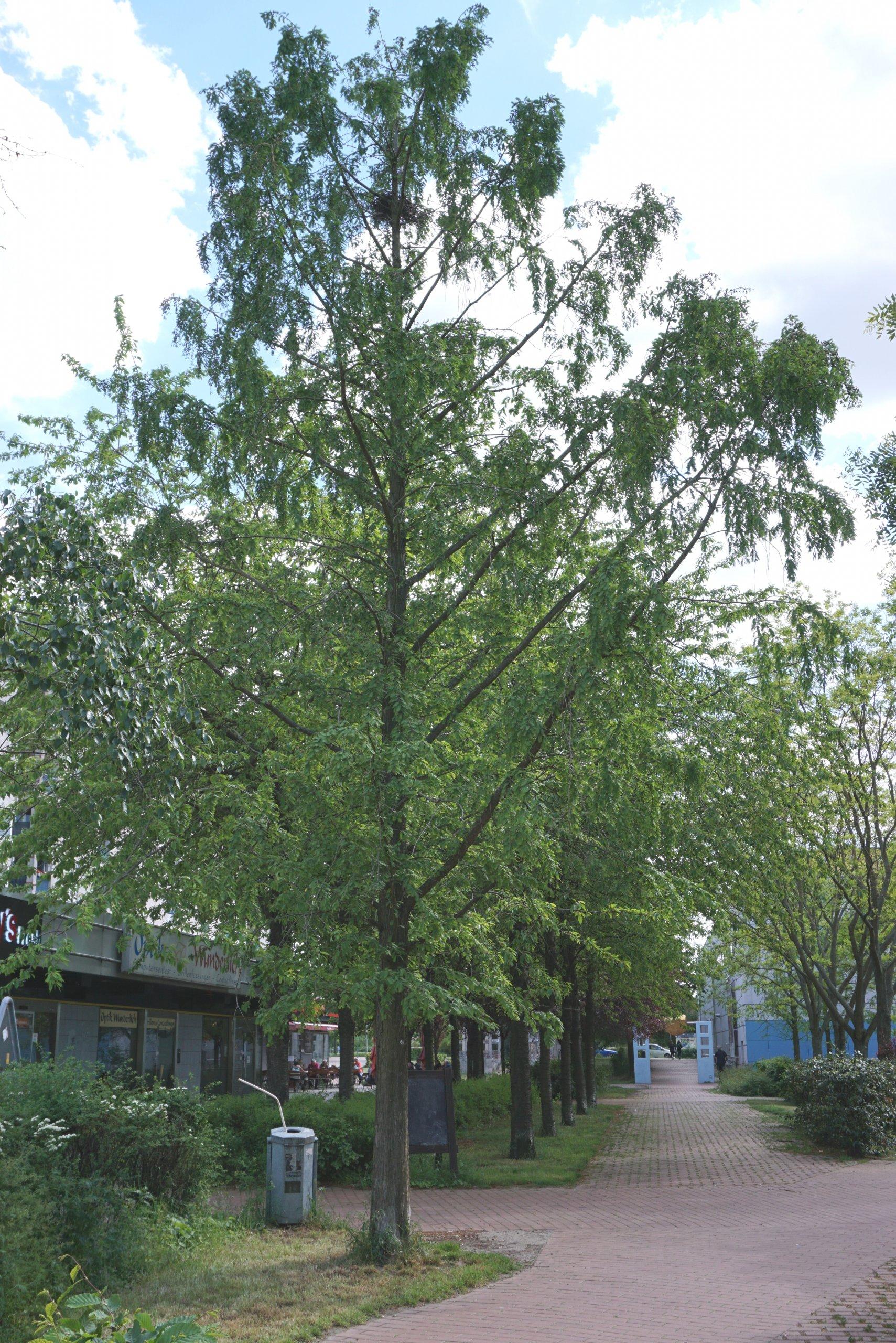 Das Bild zeigt einen Urweltmammutbaum vor dem Kiezladen WaMa im Kosmosviertel.