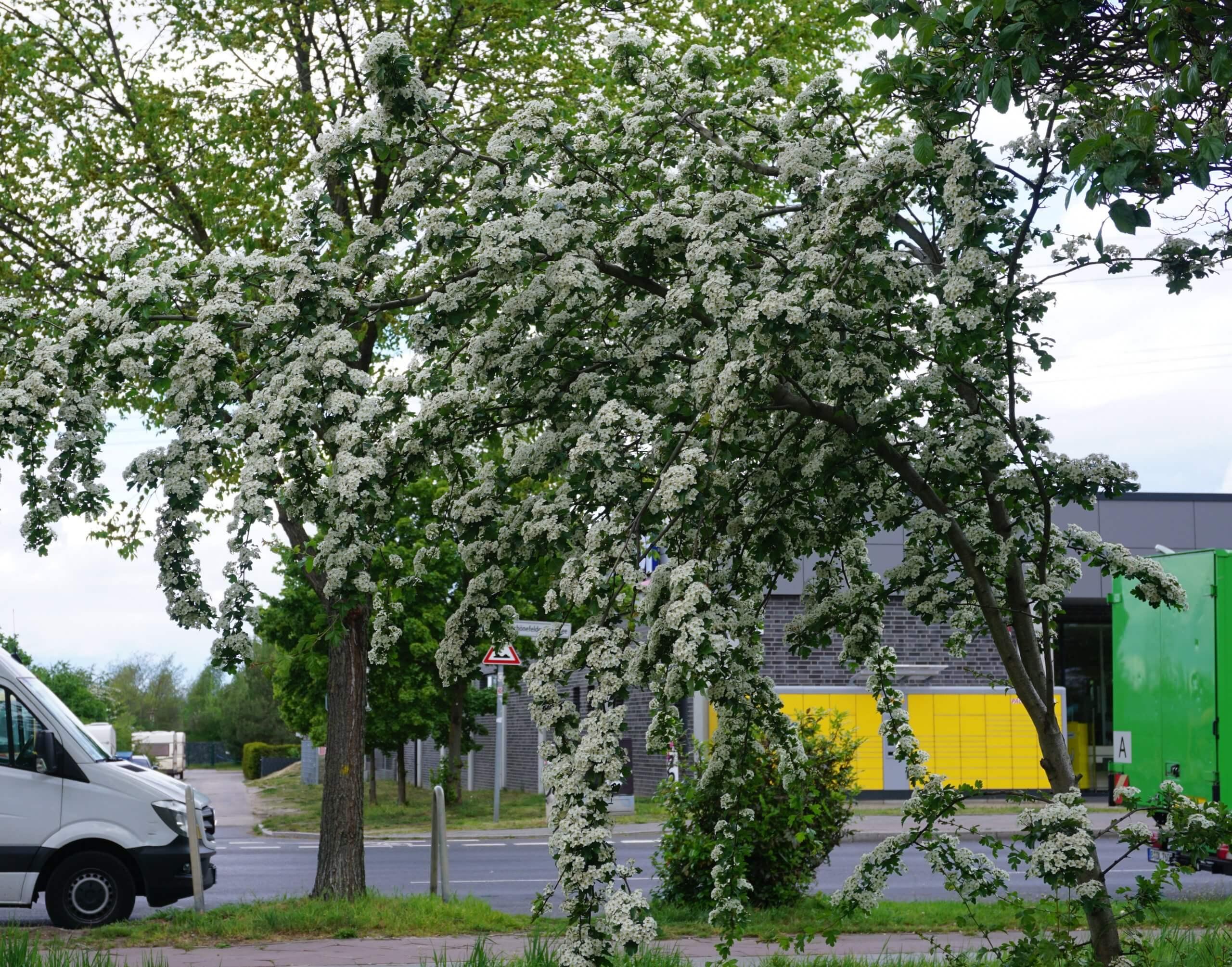 Das Bild zeigt einen kleinen Baum eines blühenden Weißdorns an der Schönefelder Chaussee im Kosmosviertel.